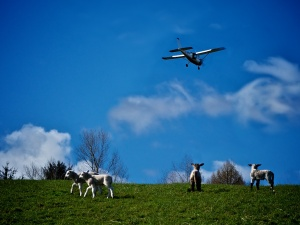 Lambs watch a plane fly over