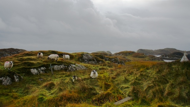 Sheep on Harris bays