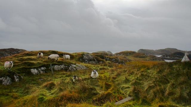 Sheep on Harris bays
