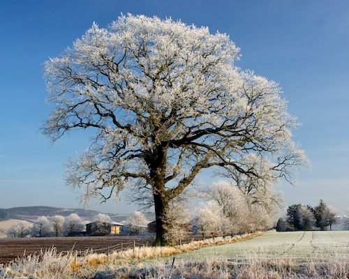 Tree covered in frost