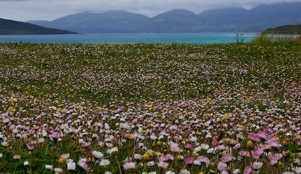 Machair wild flowers on west coast of Scotland
