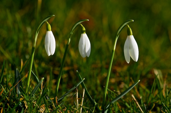 Three white snowdrop flowers closed in a bell shape amidst grass