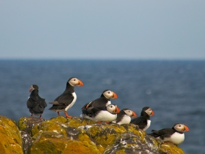 A group of Puffins look out to sea from on top of a rock