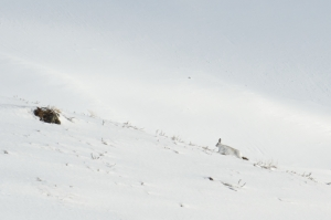 White snow and a white snow hare is just able to be seen
