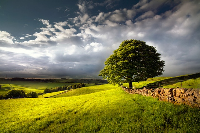 TRee on the right of the image at the end of a dry stone wall and then looking beyond into rolling farmland fields lit by the sun