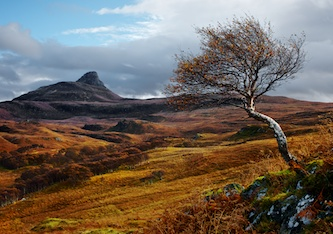 A lone rowan tree twists in the foreground pointing up to a mouton in the distance